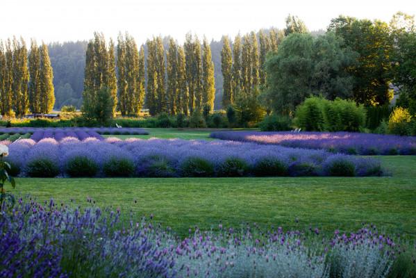 Woodinville Lavender